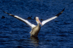 White pelican takeoff sequence, two of six.