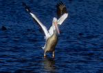 White pelican takeoff sequence, three of six.