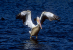 White pelican takeoff sequence, four of six.