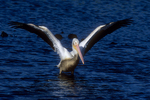White pelican takeoff sequence, five of six.