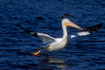 White pelican takeoff sequence, six of six.