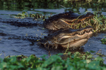 American alligators fishing