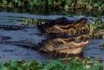 American alligators fishing