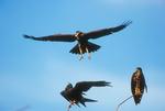 Everglades Snail kites