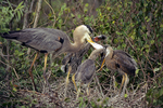 Great blue heron feeding young.