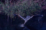 Great blue heron diving