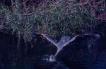 Great blue heron diving