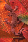 Turnip-tailed gecko