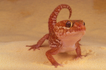 Malagasy ground gecko