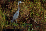 Great blue heron and american alligator.