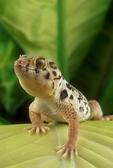 Tibetan frog-eyed gecko