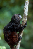 Black mantle tamarin