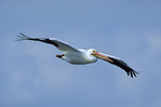 American white pelican in flight.