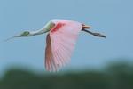 Roseate spoonbill flying, breeding plumage.