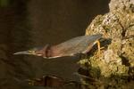 Green heron fishing.