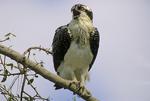 Osprey calling.