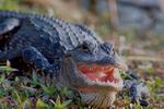 American alligator basking.