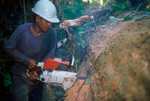 A logger dissecting a freshly cut tree in the rain forest.