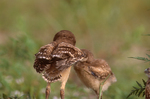 Burrowing owl chicks.