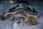 Loggerhead sea turtle nesting.
