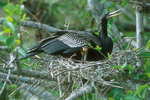 Anhinga with chicks at nest.