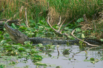American alligator during territorial or mating call.