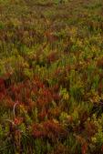 Glasswort, saltwort and sea blight in a coastal prairie.