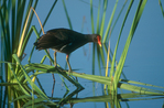 Common moorhen in sawgrass