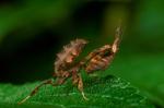Ghost praying mantis