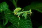 Ghanan praying mantis