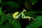 Ghanan praying mantis
