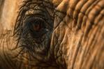 An African elephant's eye.