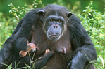 Chimpanzee, mom with infant.