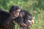 Infant chimpanzee riding on mother's back.