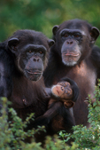 Chimpanzees with infant