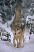 Alaska tundra wolf during snowfall