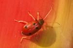 Spotted leaf beetle
