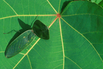 Hooded leaf mantid
