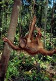 Bornean orangutan