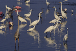 Great blue heron, great egrets, snowy egrets, louisiana herons, and roseate spoonbills.