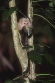 White-faced capuchin eating leaf mantid.
