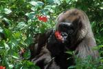 Western lowland gorilla examining a hibiscus flower.