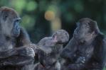 Western lowland gorillas