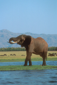 African elephant drinking water.