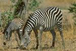 Selous zebra with foal.