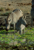 selous zebras at watering hole.