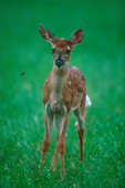 White-tailed deer watches a fly.