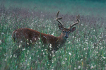 White-tailed deer in morning dew.