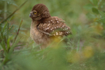 Burrowing owl shaking its wings.
