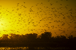 Northern pintail ducks at sunset